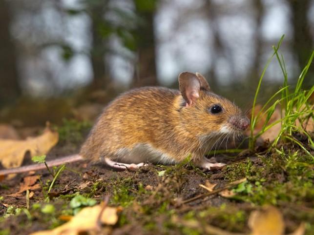 Scopri qui qual è il miglior repellente per topi